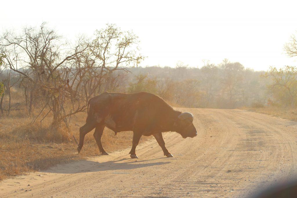 bufalo at Kruger National Park